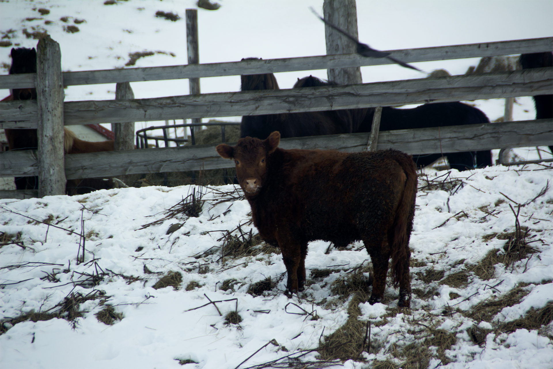Icelandic cattle