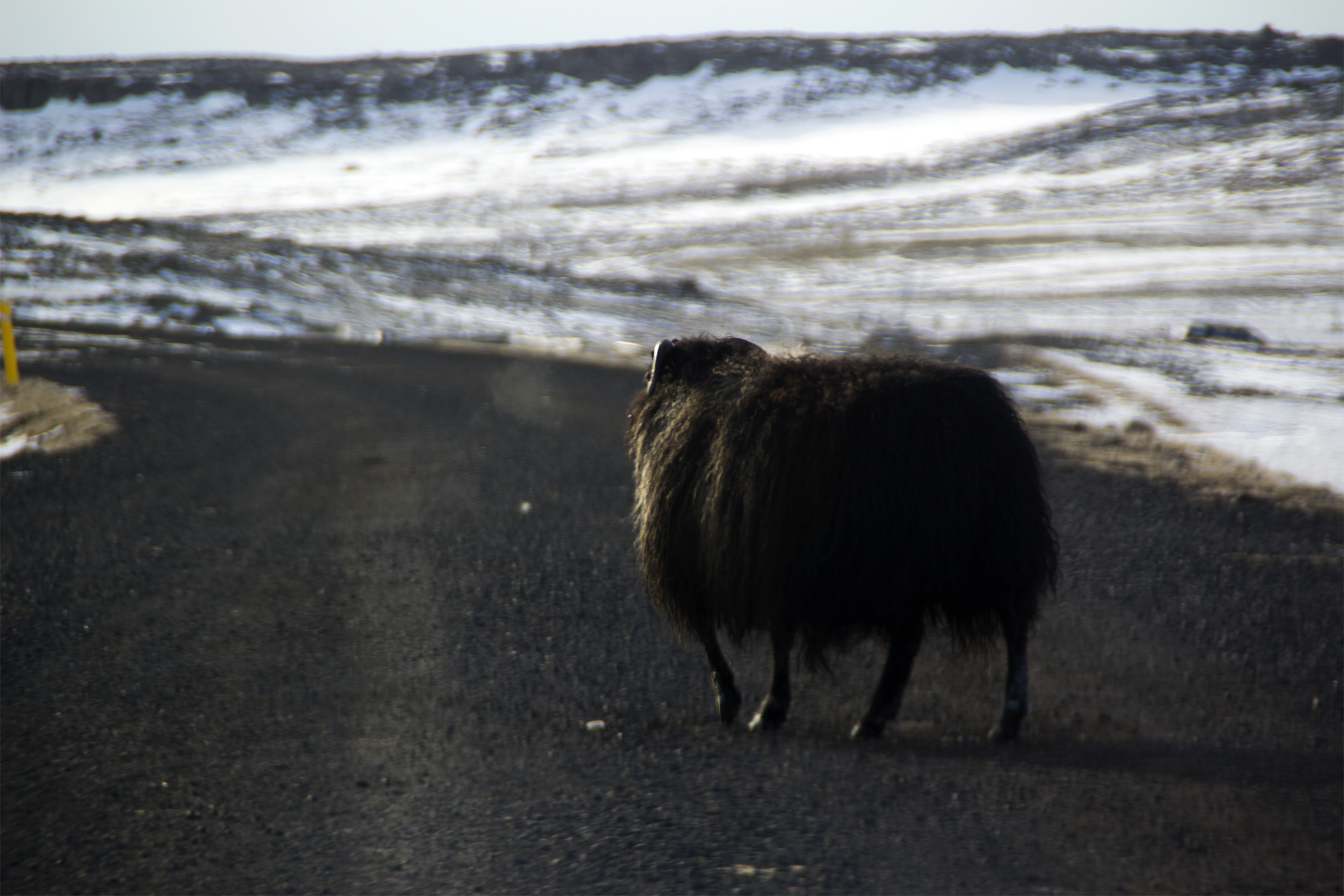 Icelandic sheep on the road